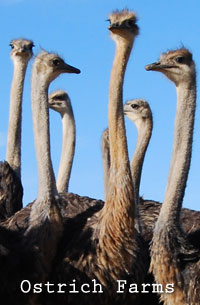 Ostrich Show Farms